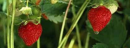 vörös foltok az eper arcán piros kerek folt a kézen mi ez